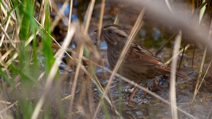 "The Stanislaus ""Skulky"" Swamp Sparrow Search"