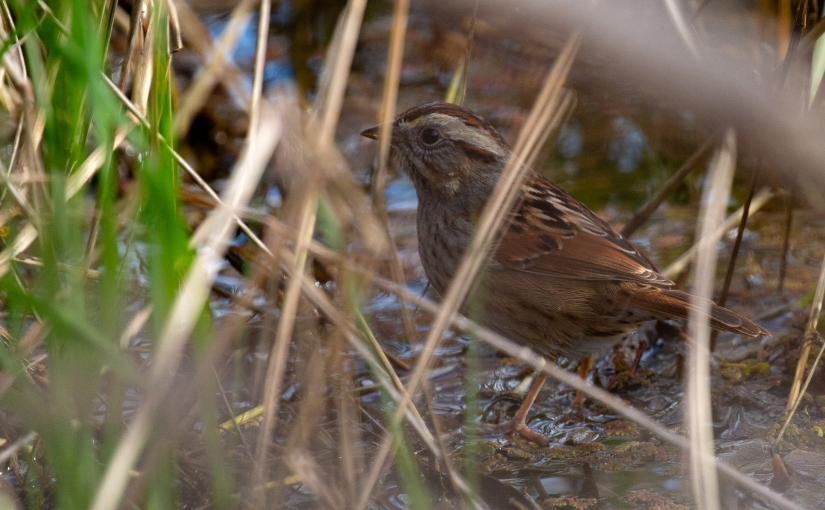Photograph of a Swamp Sparrow