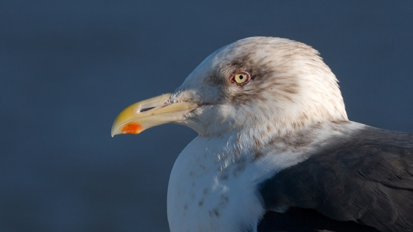 A Visit from the Gray-mantled Gull of Kamchatka