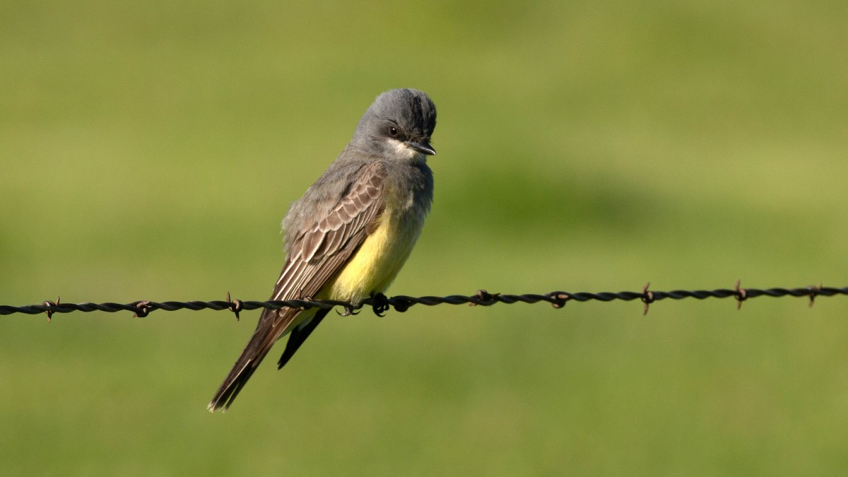 Cassin?s Kingbirds, Lawrence?s Goldfinch and Avian Eponyms