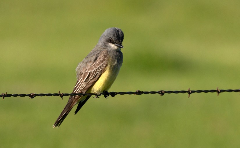 Cassin's Kingbirds, Lawrence's Goldfinch and Avian Eponyms